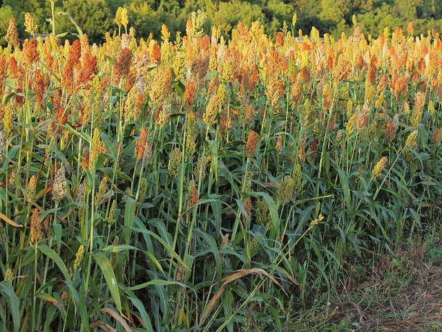 Sorghum bicolor has been used for centuries in Africa and North America for treating and preventing sundry medical ailments. It is enjoying a renaissance, owing largely to the fact that modern alternatives are prohibitively expensive / © PlantVillage